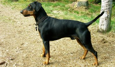 Pinscher Tedesco Un Dobermann in miniatura
