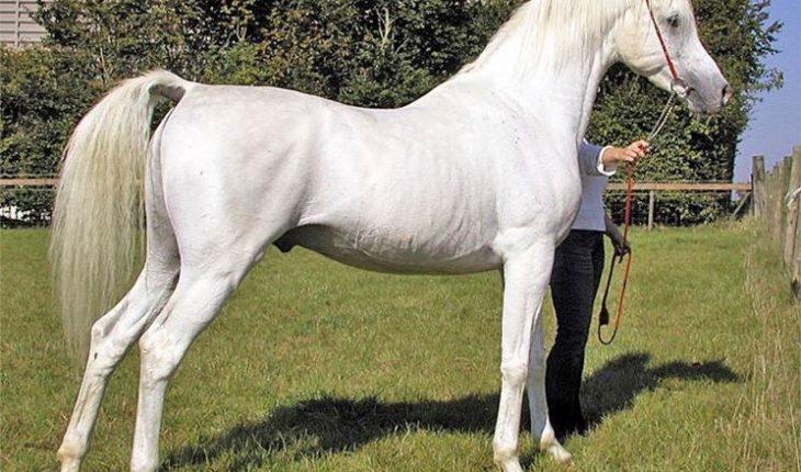Il Cavallo Purosangue Arabo