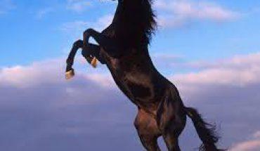 Il cavallo Mustang uno stallone indomabile