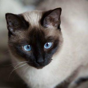 Il Siamese Il gatto dagli occhi azzurri