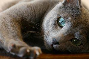 Il Gatto Blu di Russia un gatto misterioso