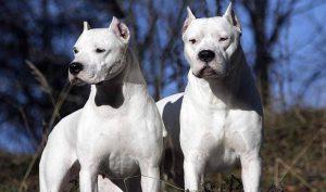 Il Dogo Argentino un eccellente difensore della famiglia