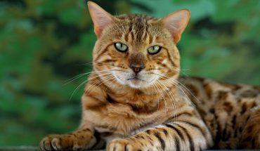 Il Gatto Bengala un ibrido interessante