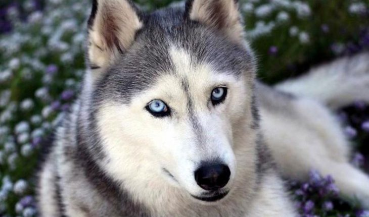L'Husky Il discedente più affine all'ancestrale Lupo