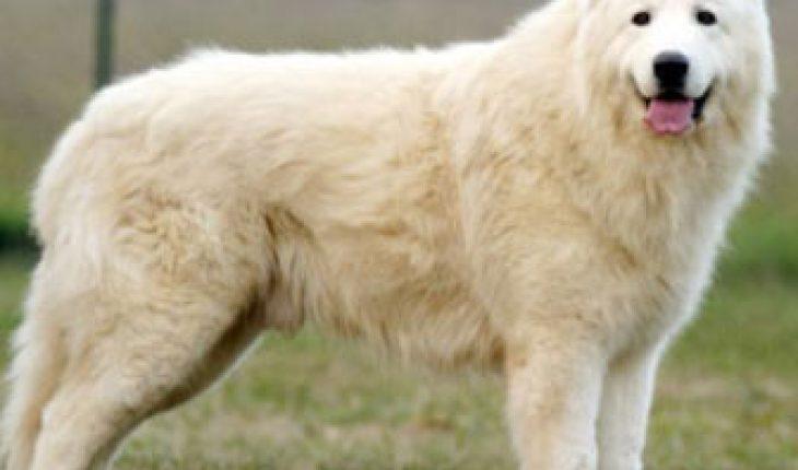 Il Cane da Pastore Maremmano Abruzzese