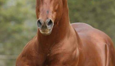 Il Quarter Horse il velocista del quarto di miglio